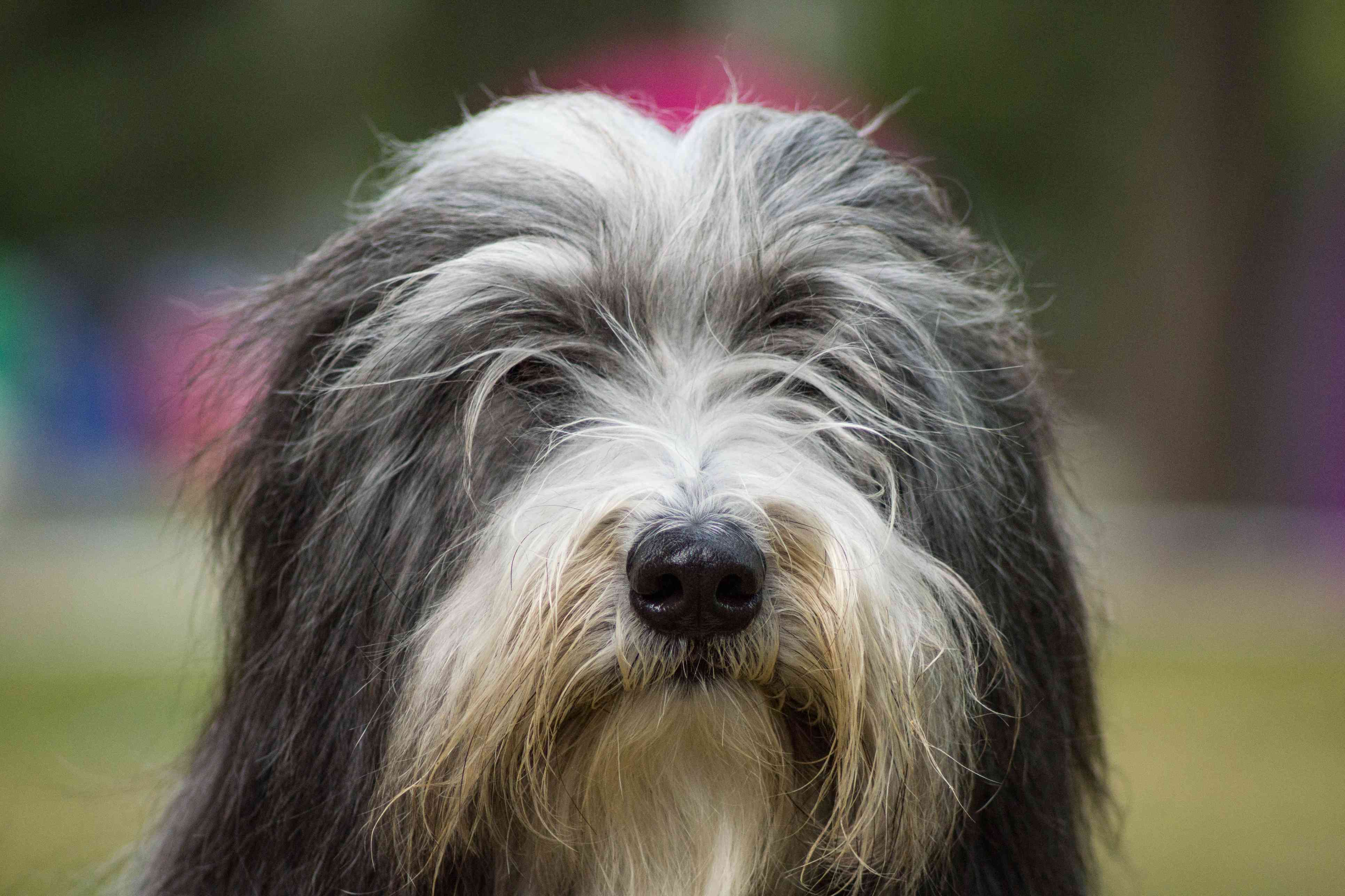 A close-up of a Bearded Collie.