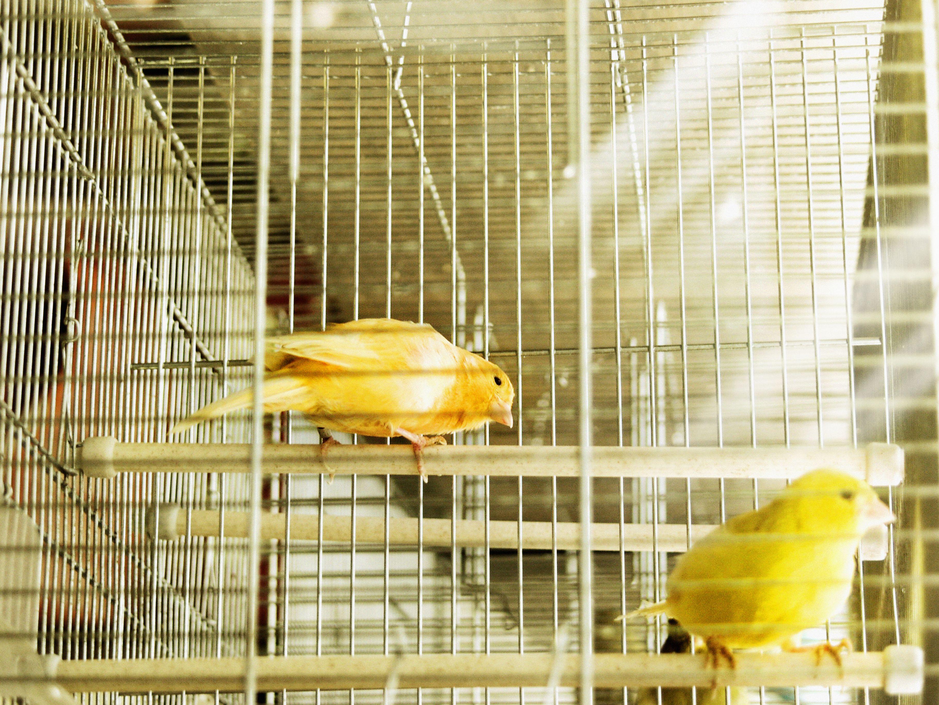 dos canarios amarillos en una jaula