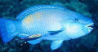 Bullethead Parrotfish Image