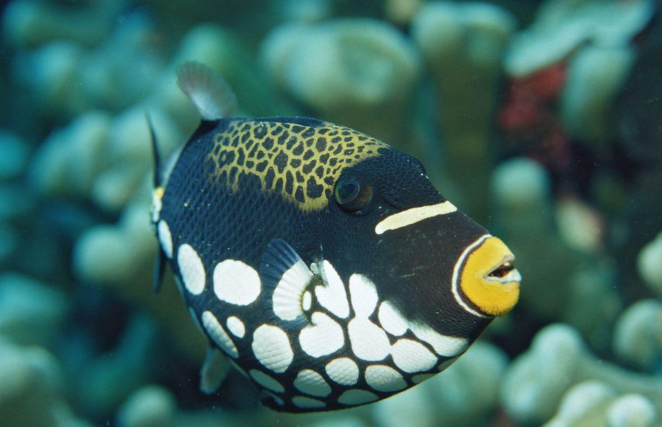 Payaso Triggerfish