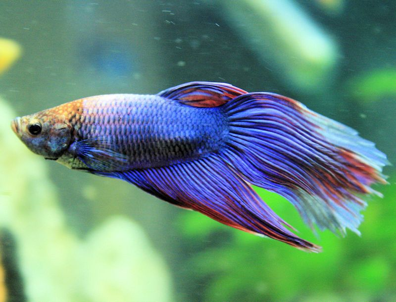 The Unique Labyrinth Fish And Why Its Different