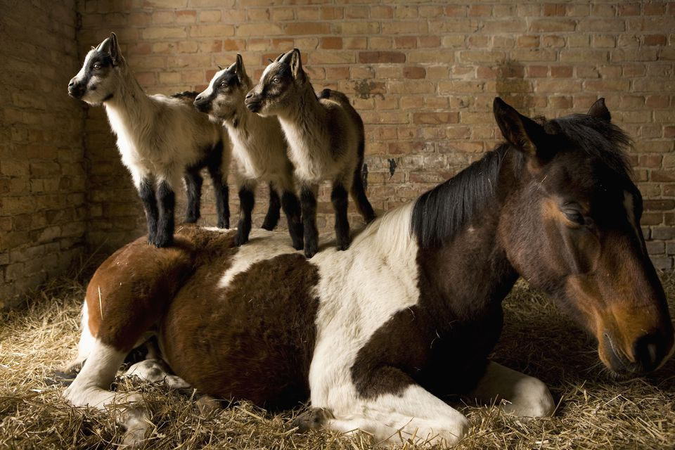 Young goats standing on horse in stable
