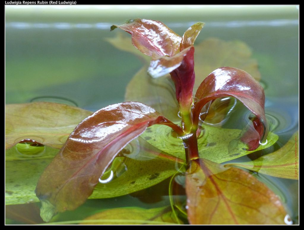 Floating Ludwigia repens growing above the water surface