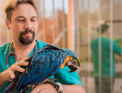Veterinarian examining a young Ara parrot