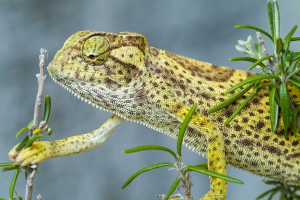Chamaeleo senegalensis – Senegal chameleon