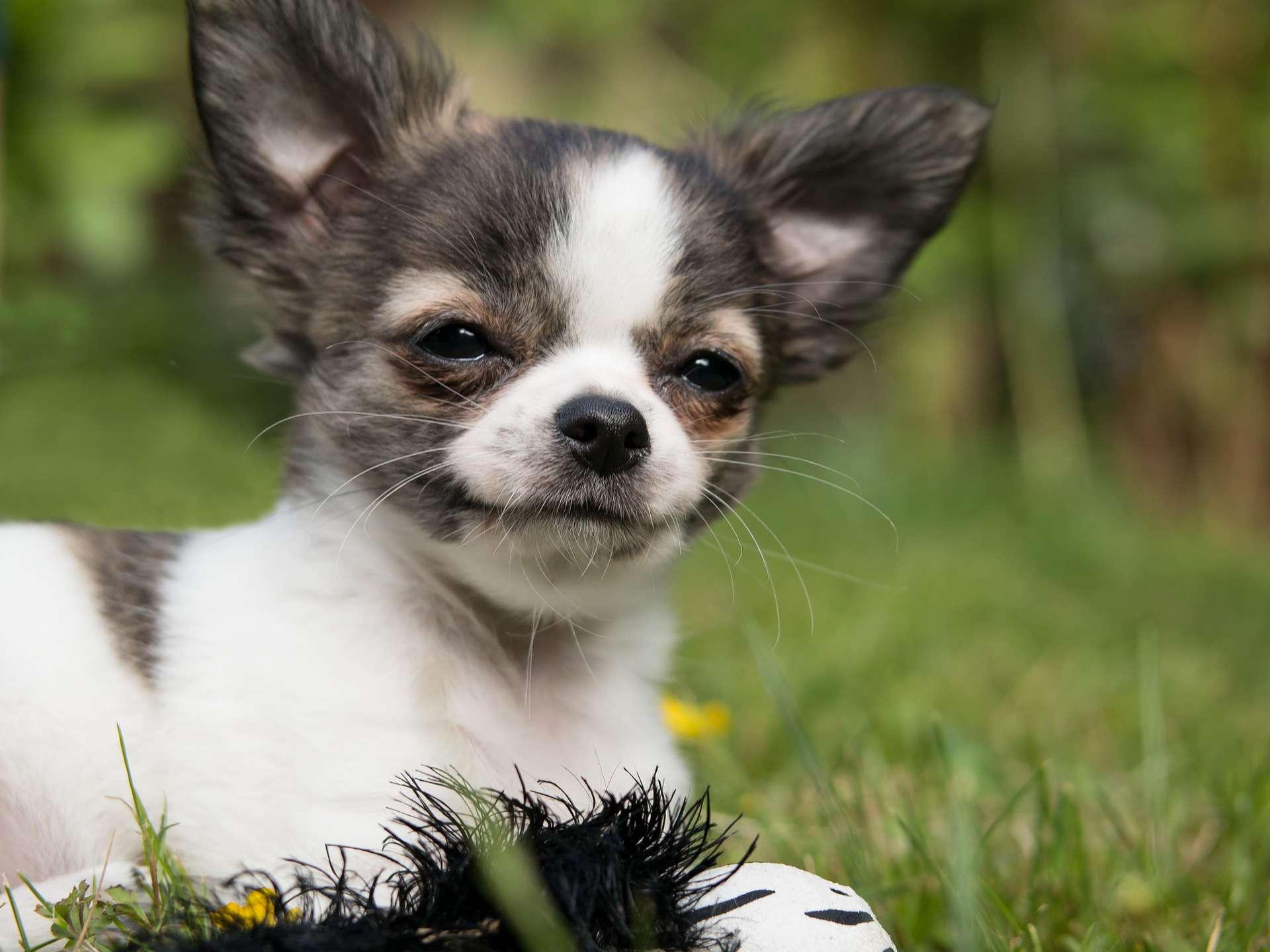 A chihuahua puppy sitting outside.