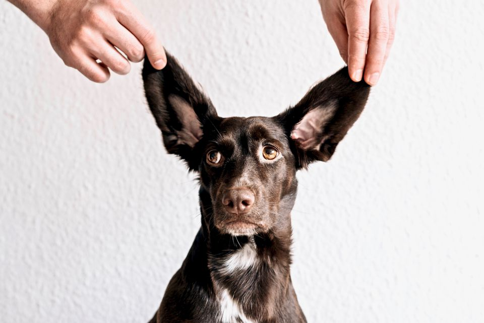 Common Ear Problems in Dogs