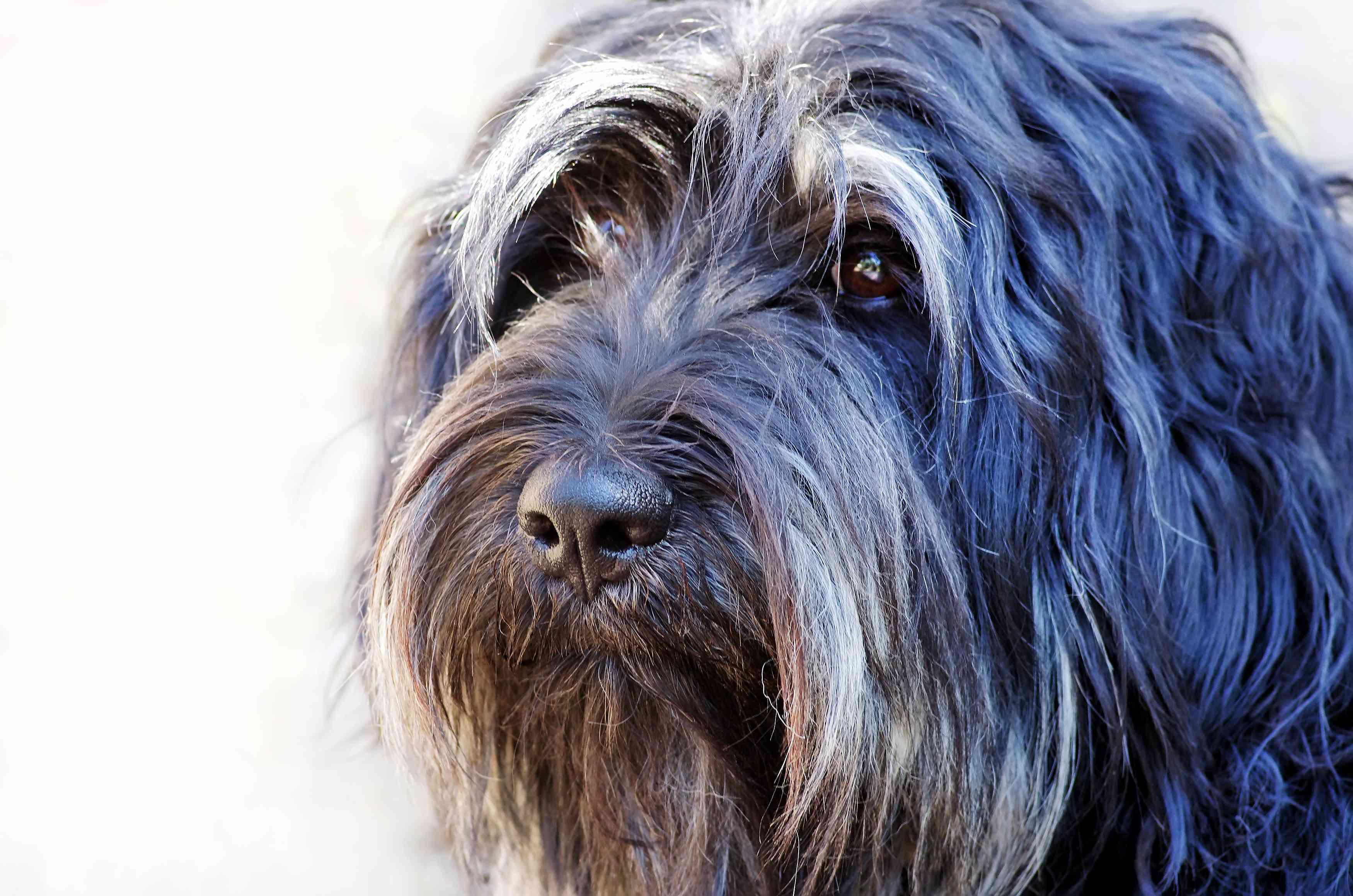 Portuguese sheepdog portrait