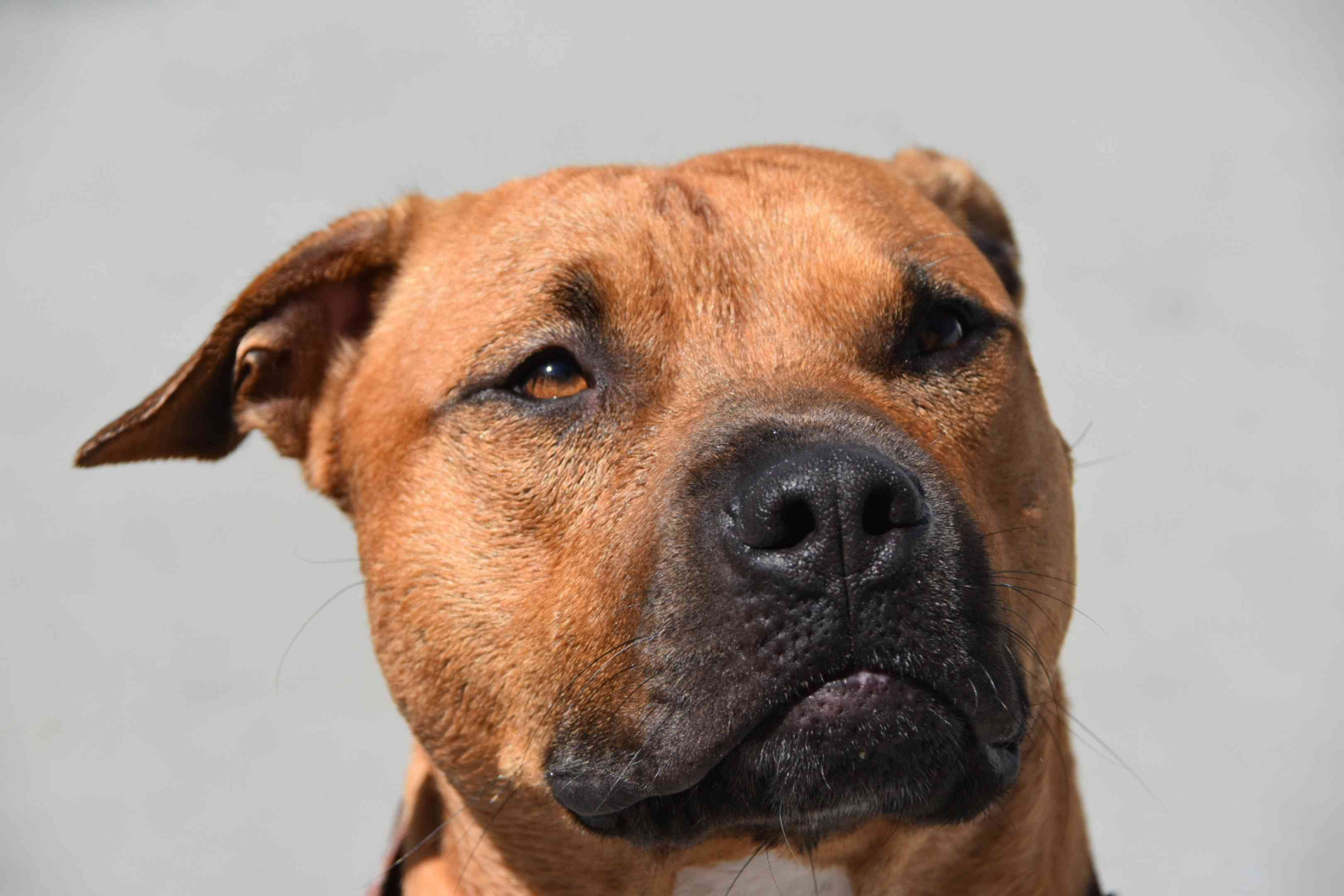 Headshot of an American Staffordshire terrier