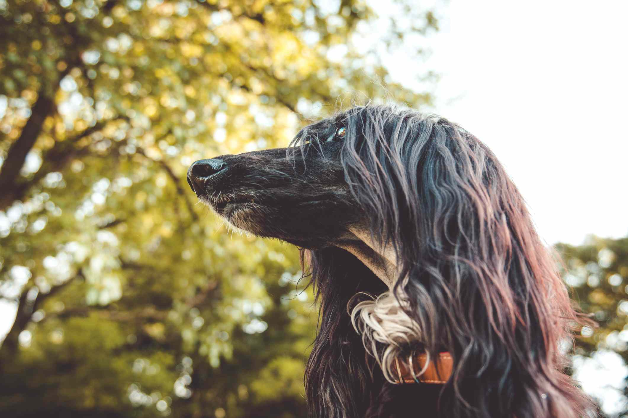 Close up on face of Afghan Hound dog with tree in background.