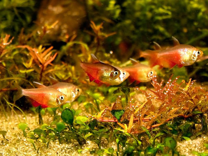 Flame Tetra comunity aquarium fish