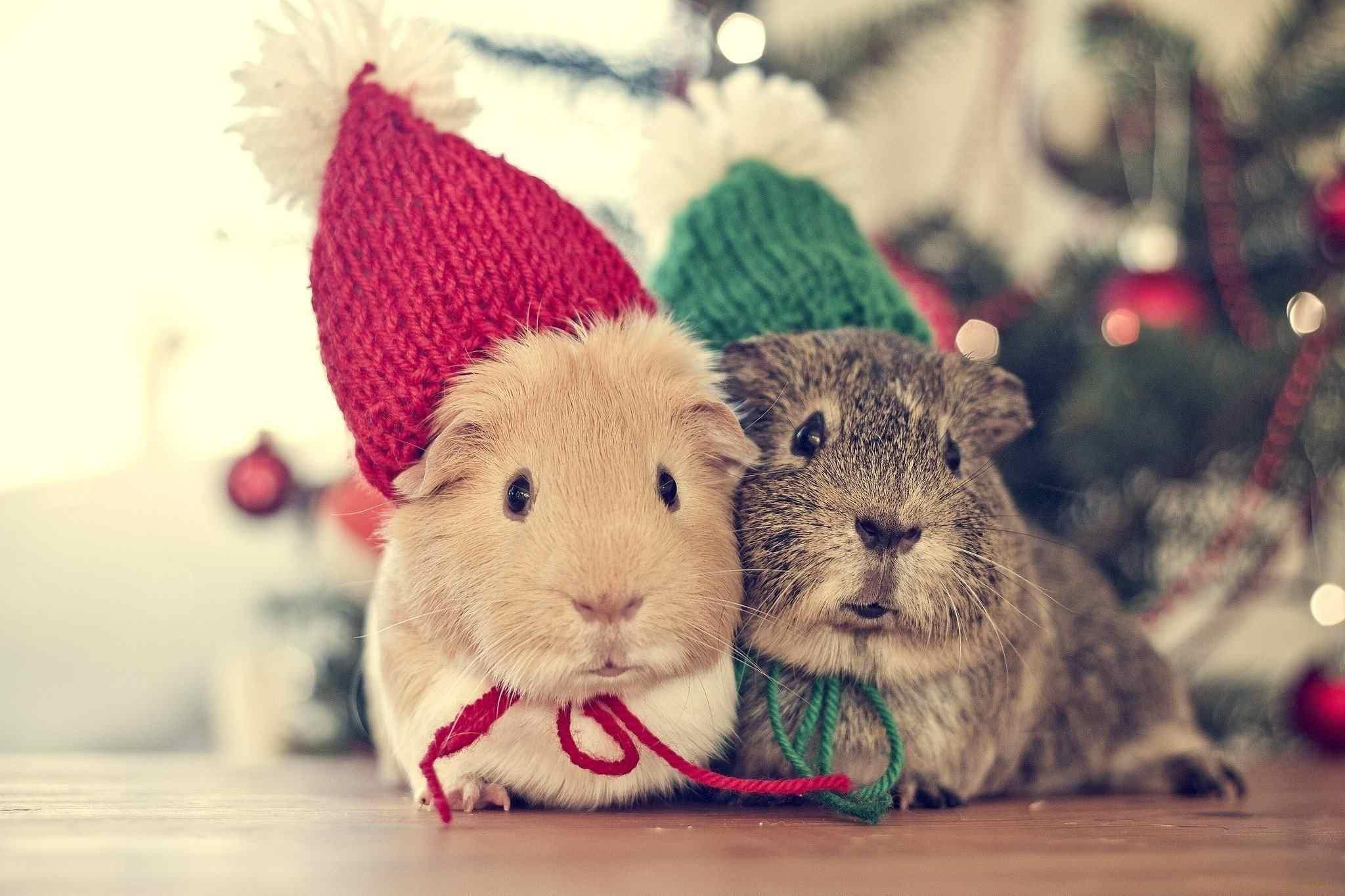 hamsters wearing winter hats