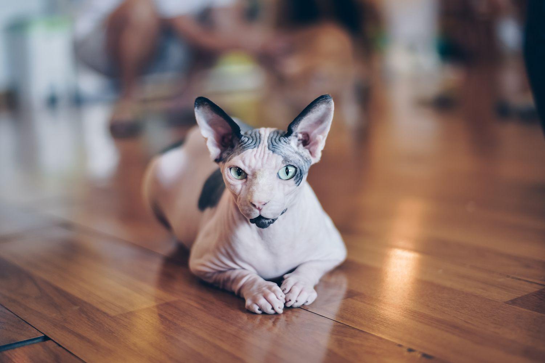 sphynx cat on a wood floor