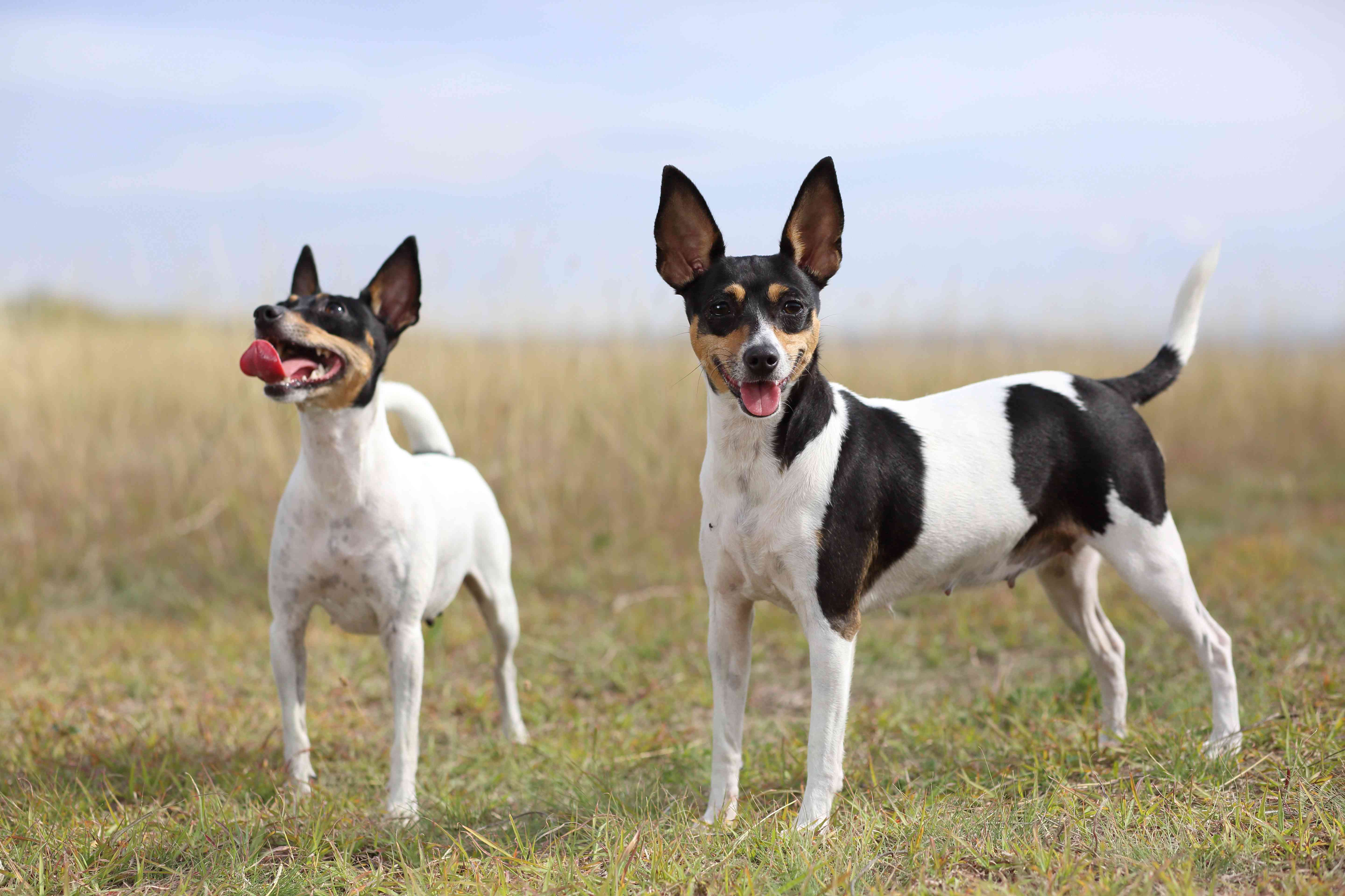 two toy fox terriers outside