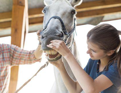 Vet checking horses teeth