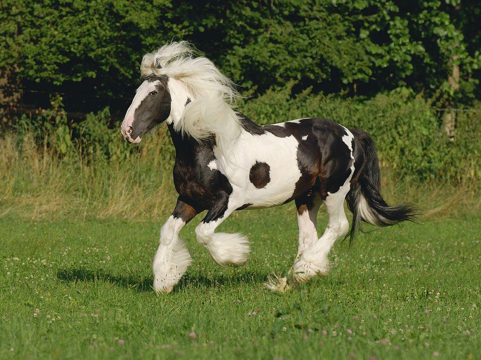 Gypsy Vanner cob horse