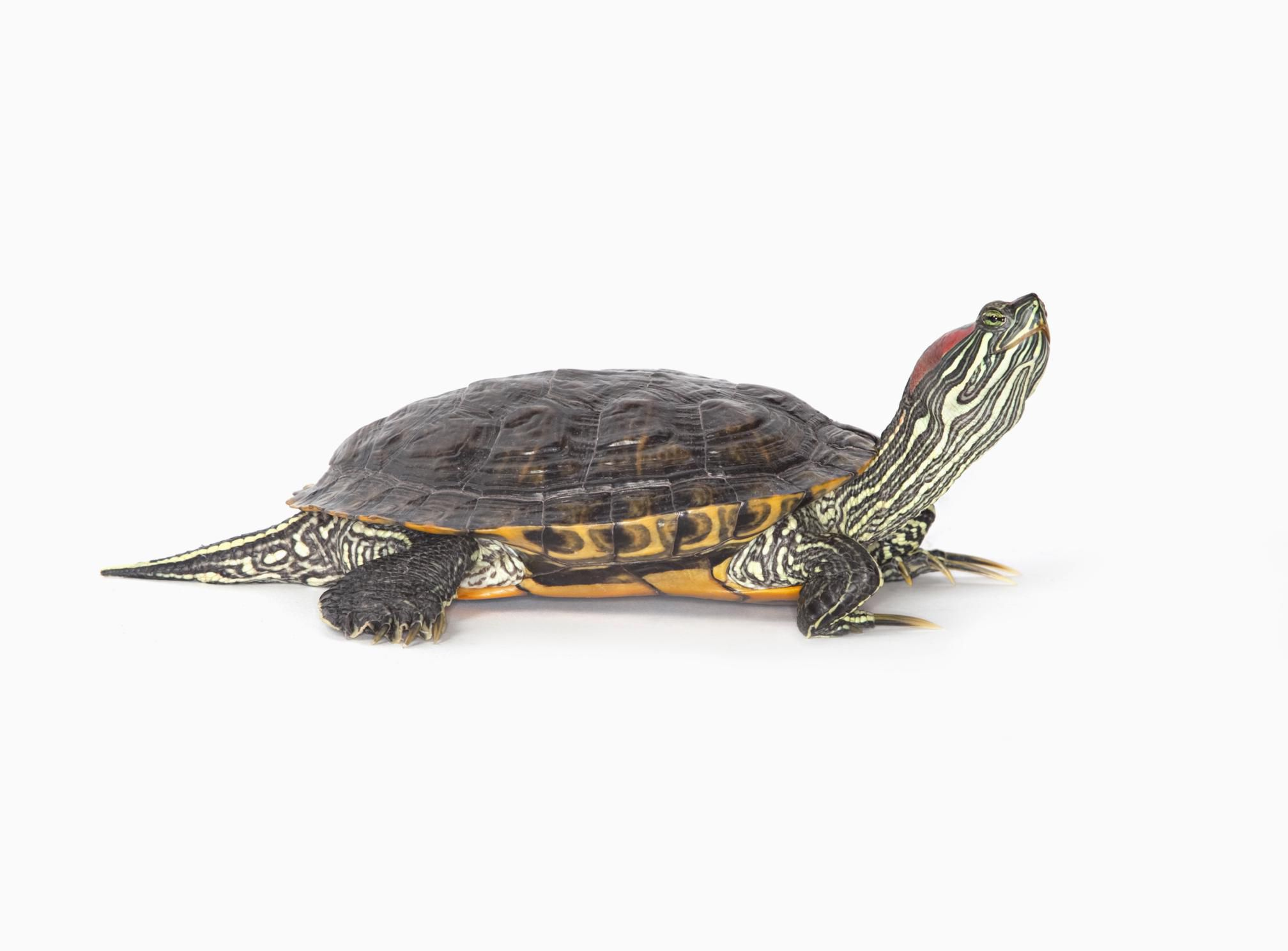 Pet turtle, a red-eared slider, white background