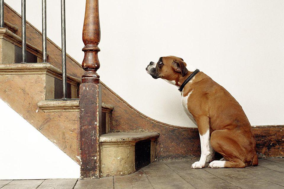 dog afraid of stairs