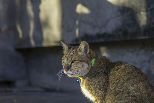 Cat with facial abscess