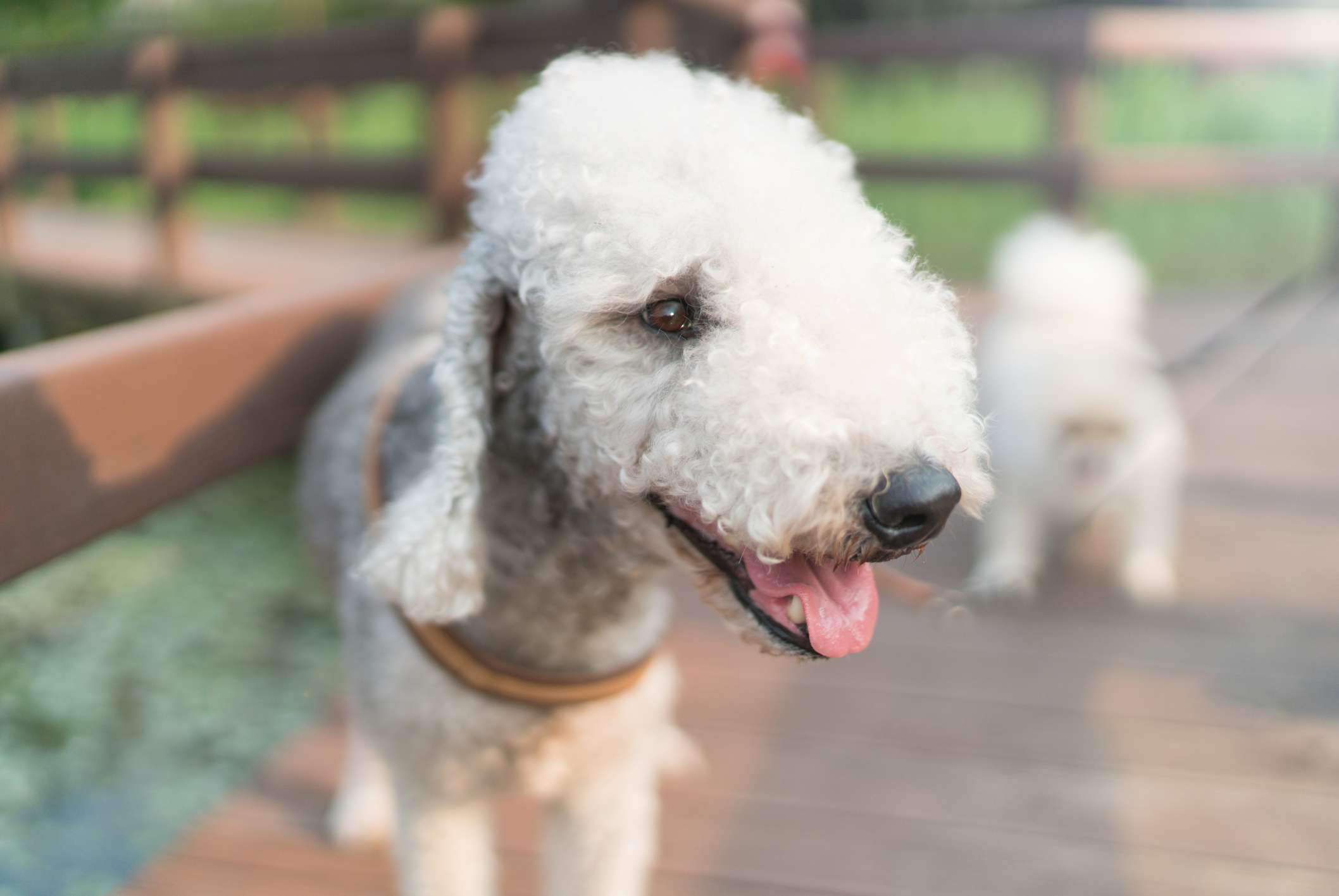 A white dog with a cotton-like coat.