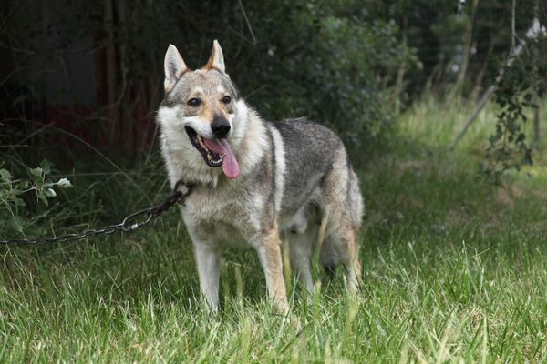 Czechoslovakian wolf dog attached to a chain