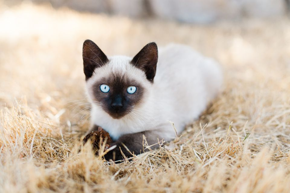 Siamese Kitten laying in a brown grassy field