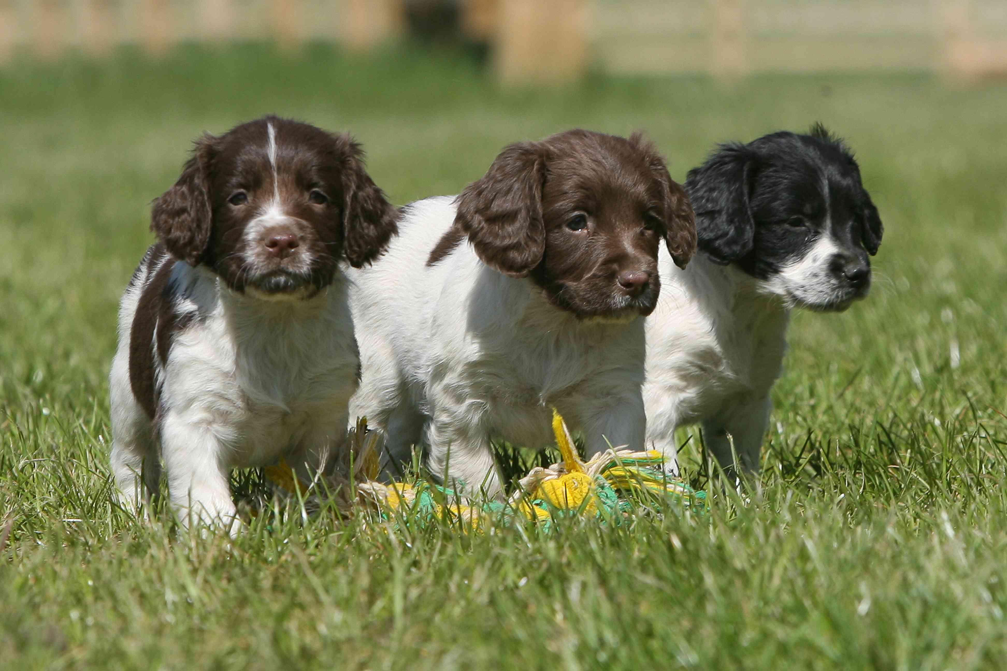 Springer Spaniel Inglés (Canis lupus familiaris) cachorros