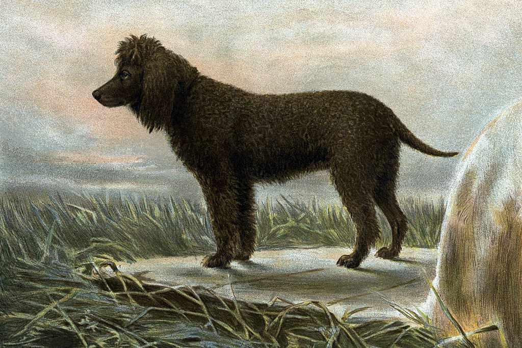 Painting (by Vero Shaw) of Irish Water Spaniels, 1881.