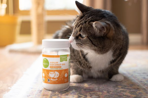 Brown and white cat sniffing jar of coconut oil