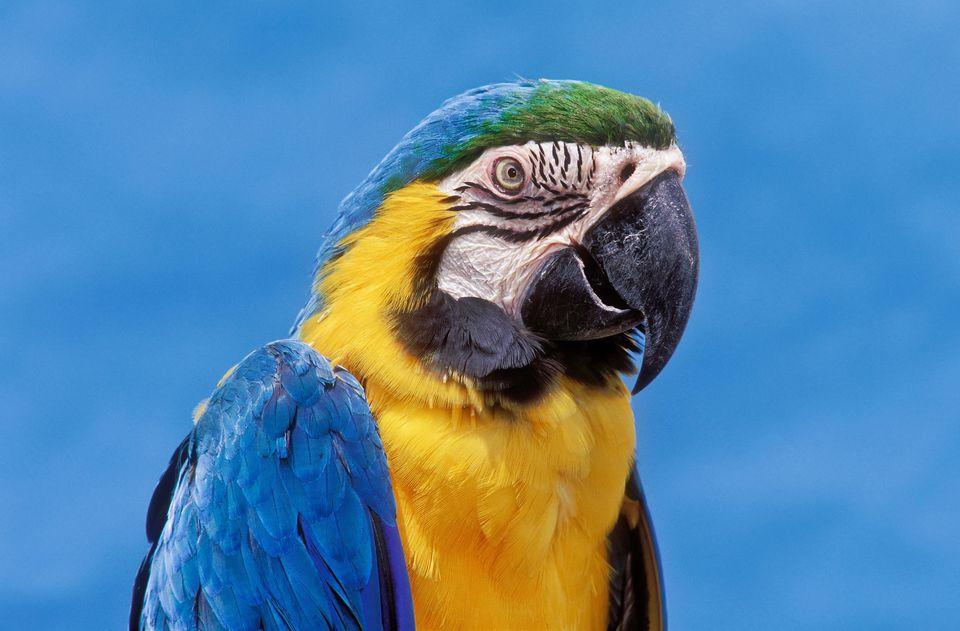 Guacamayo azul y dorado