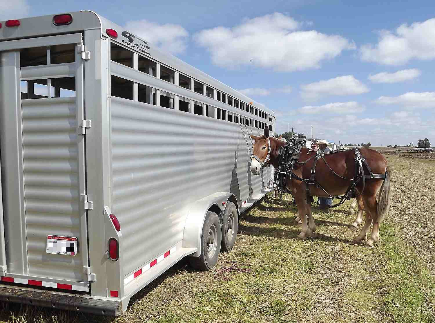 Mules tied to the side of an aluminum stock type trailer.