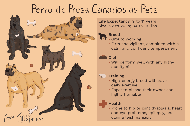 perro de presa canarios as pets illustration