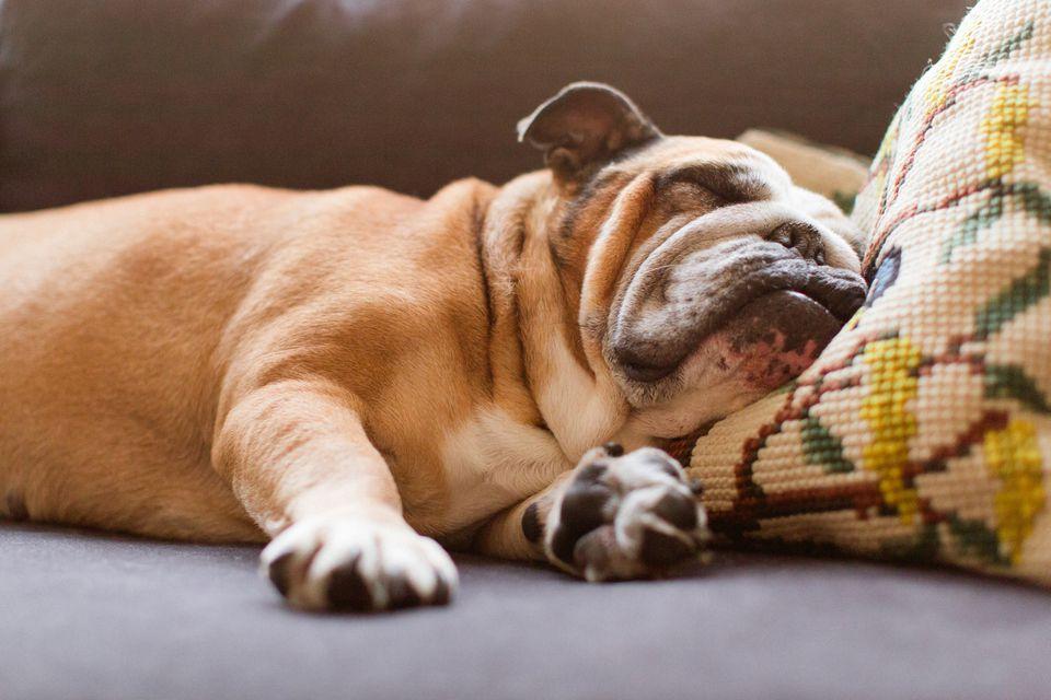 Bulldog Inglés durmiendo en el sofá