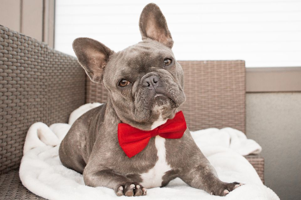 French bulldog with bow tie; fancy dog names