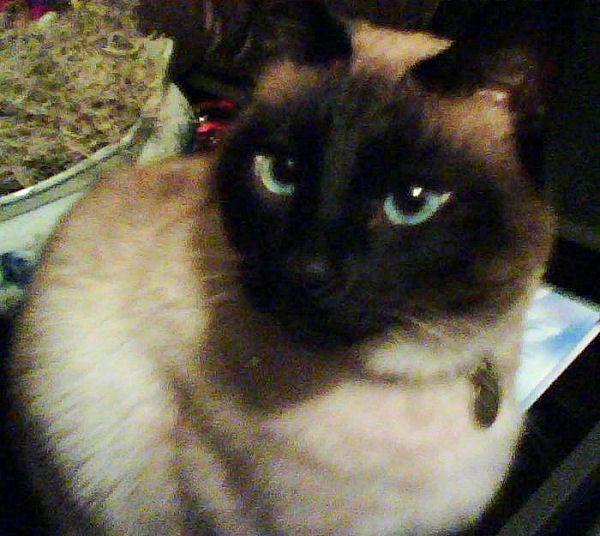 Photo of Siamese Cat Bailey