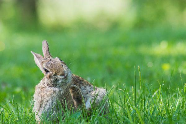 Rabbit scratching self