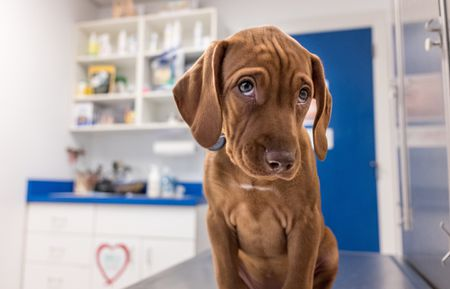 How to Treat Urinary Incontinence in Female Dogs