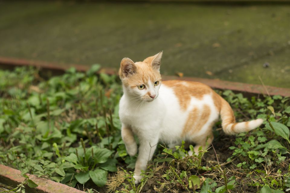 White and orange cat outside holding up a front leg.