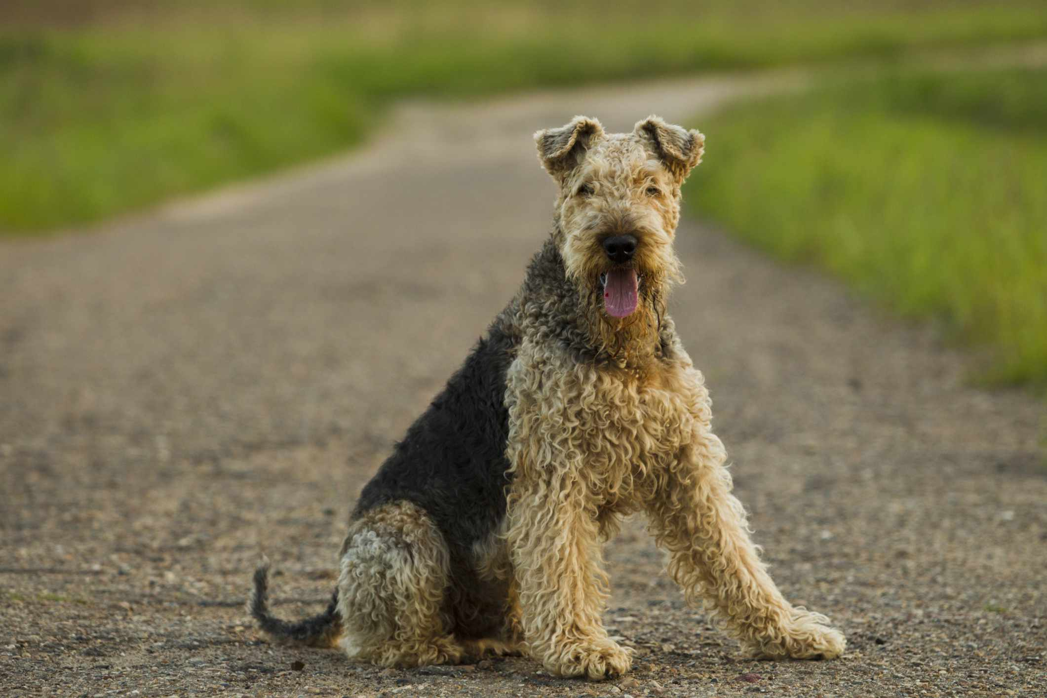 Airedale Terrier stting on a road with grass in the background