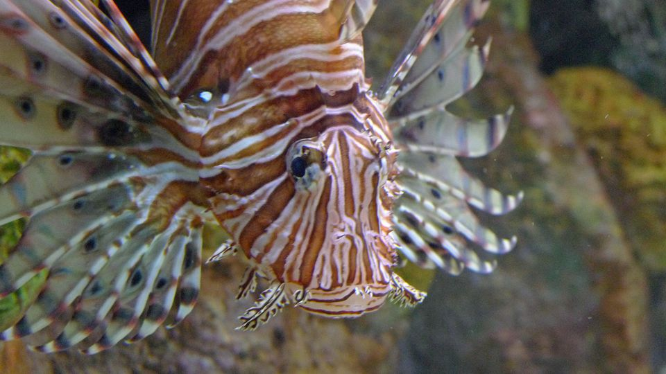 Lionfish closeup