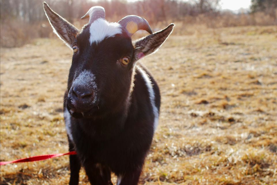 Black and white goat with tilted head in dry field