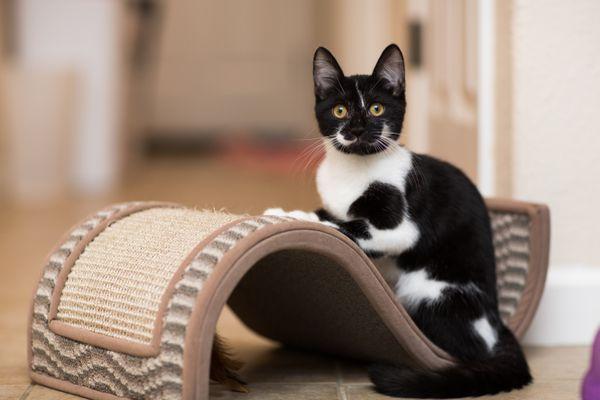Kitten Resting on Cat Toy