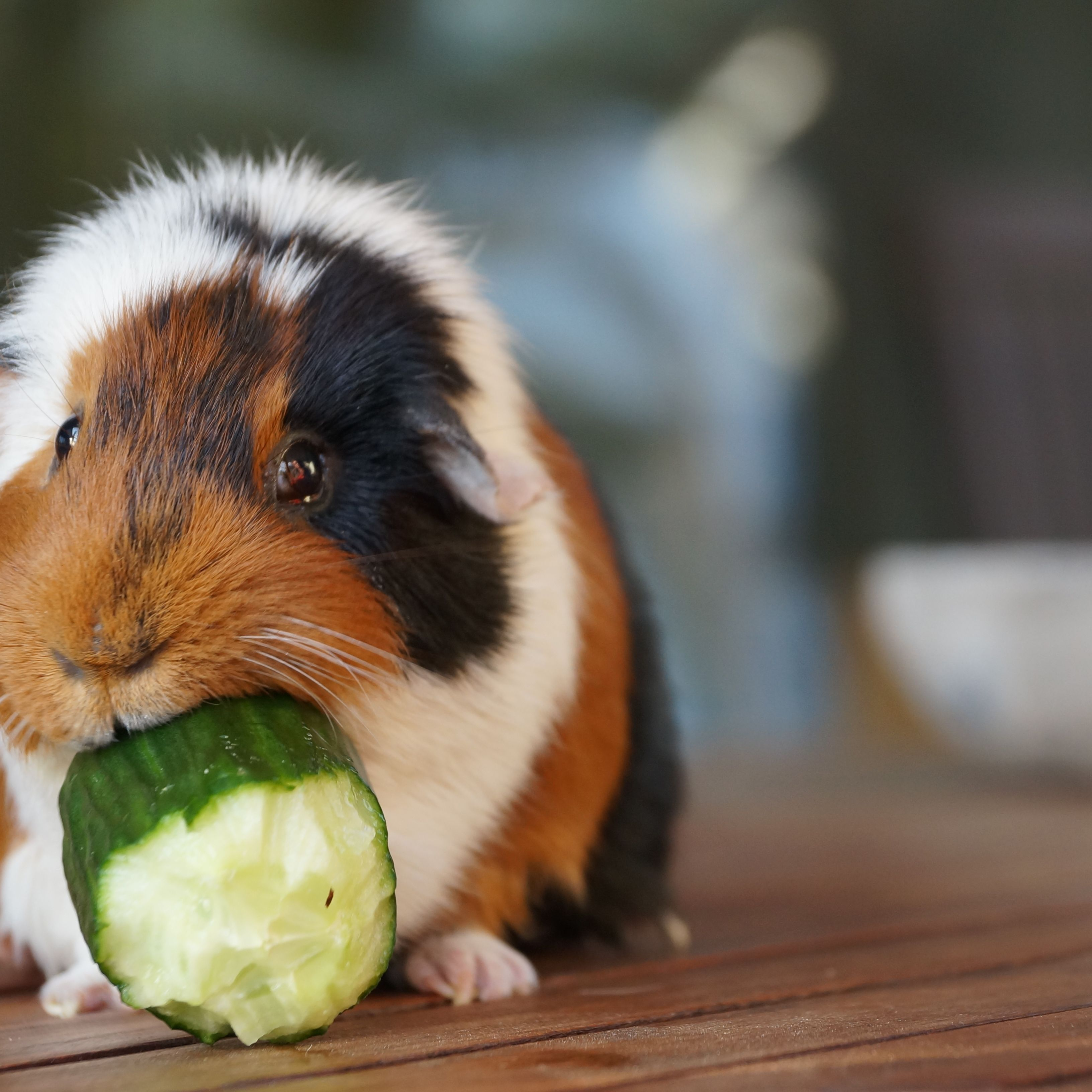 How To Treat The 5 Most Common Guinea Pig Diseases