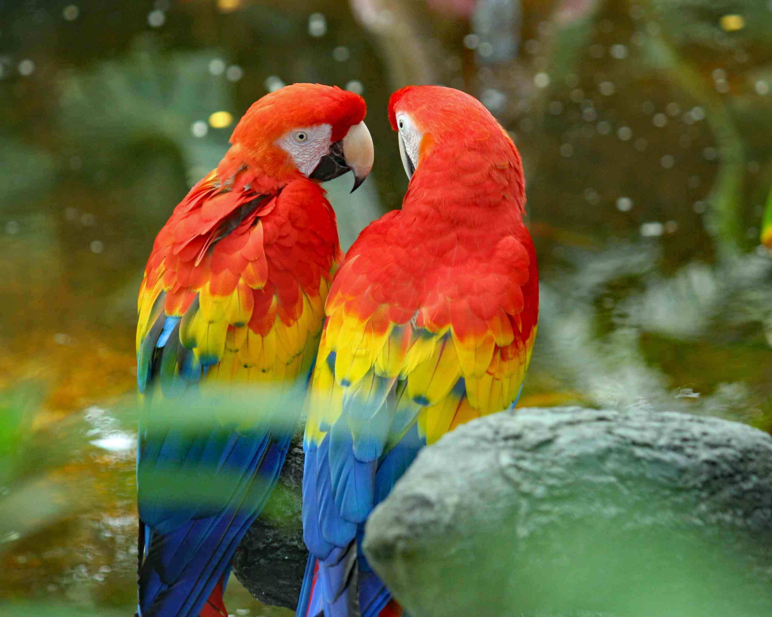 two scarlet macaws sitting together