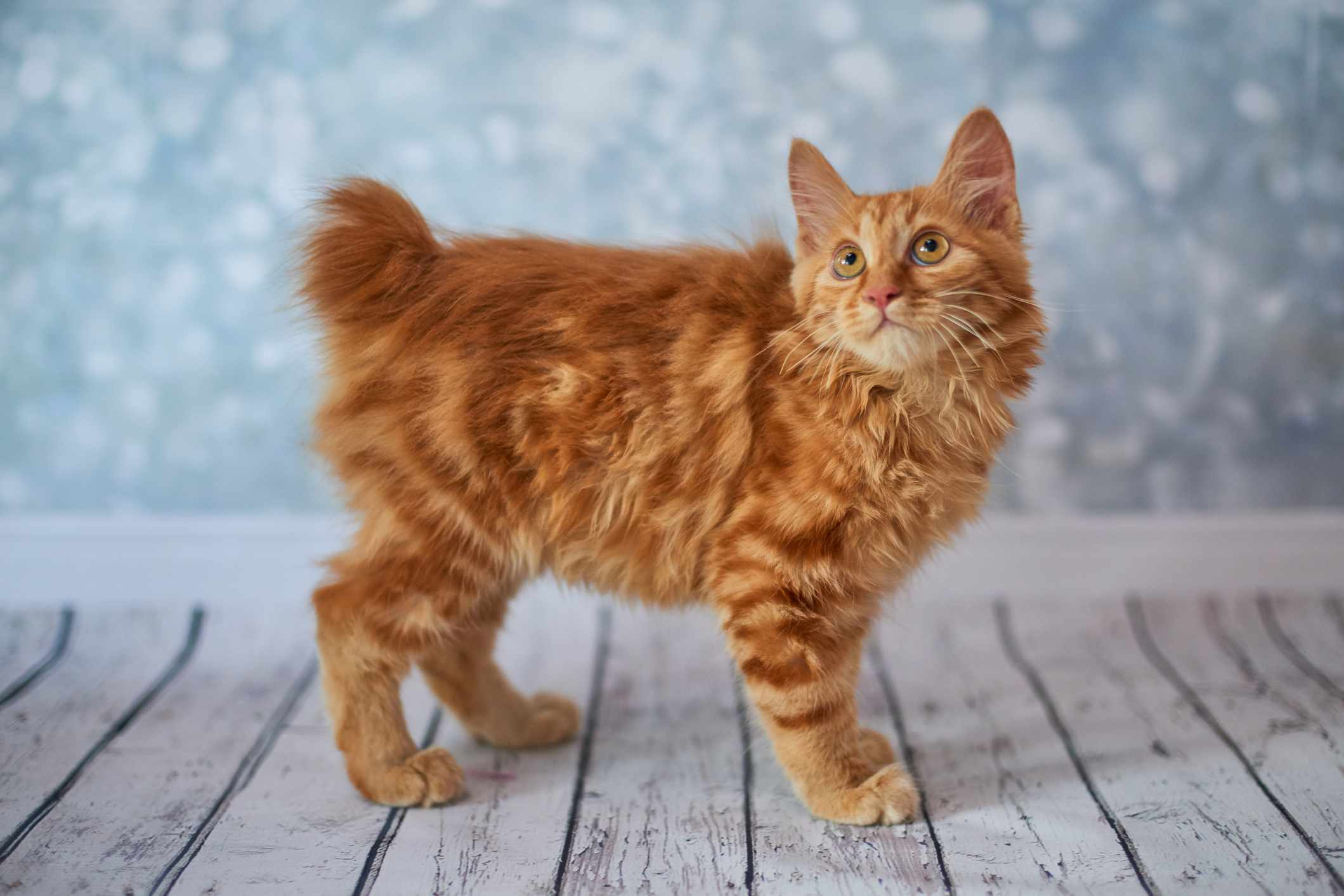 An orange cat with a short, bobbed tail looking above the camera.