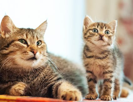 mother tabby cat with kitten
