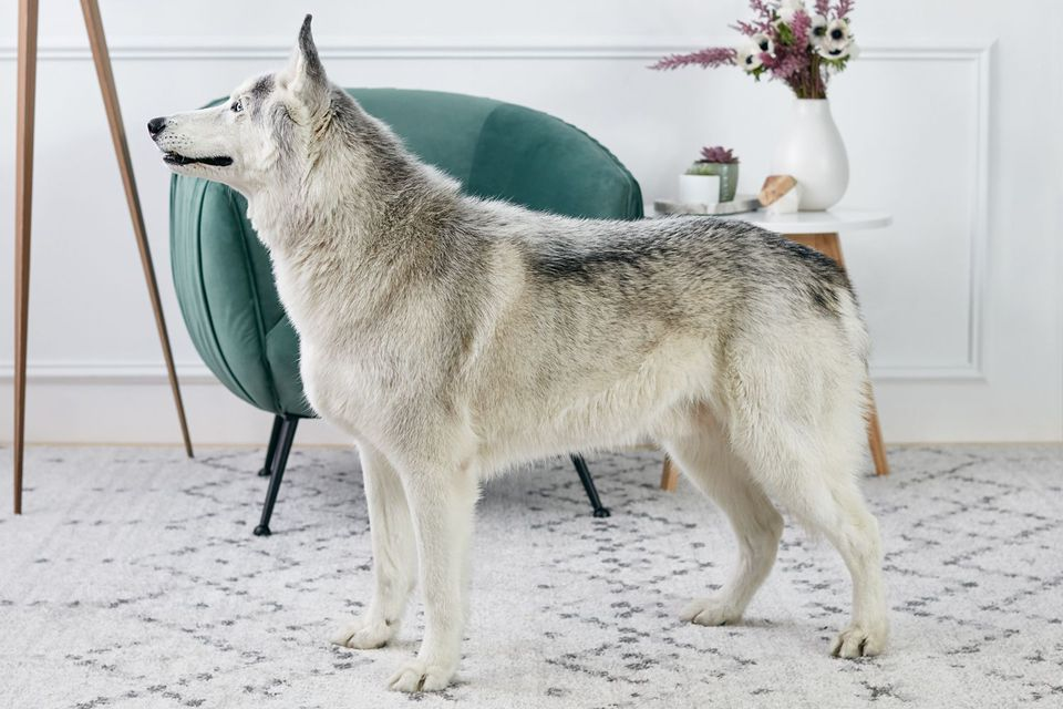 Siberian Husky standing indoors in profile