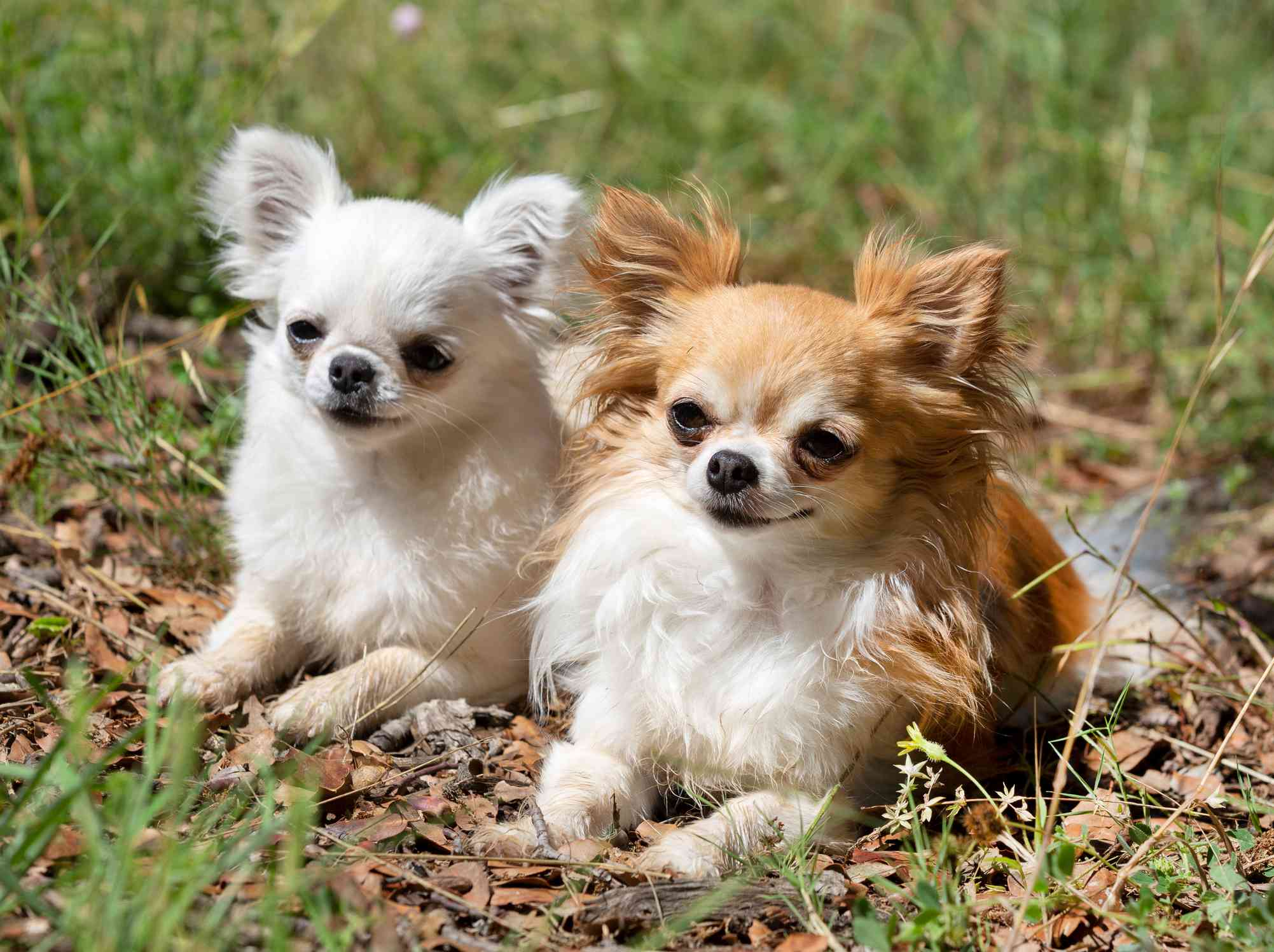 Two long-haired chihuahuas sitting outside
