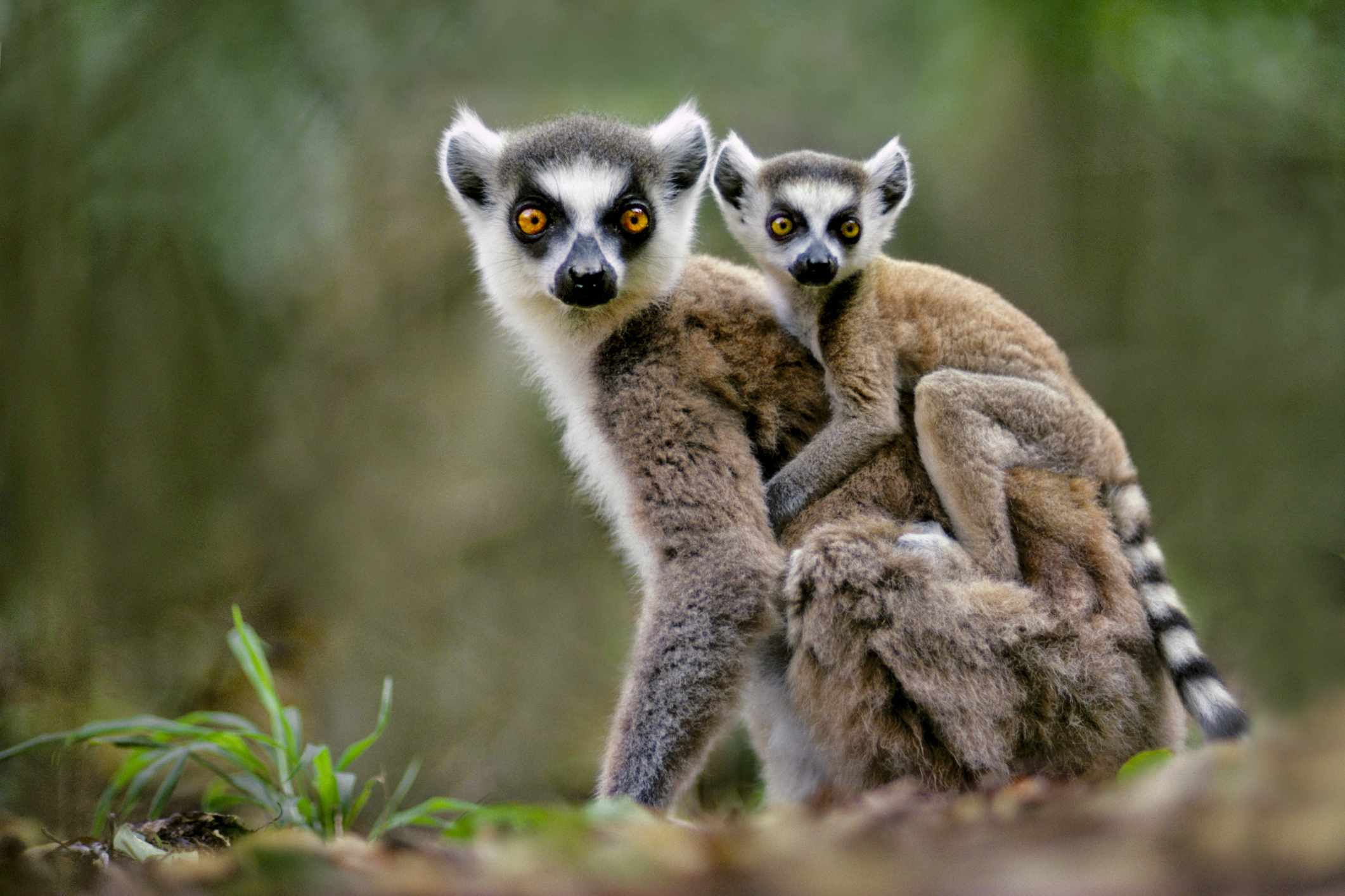 Ring-tailed lemur with a baby on its back