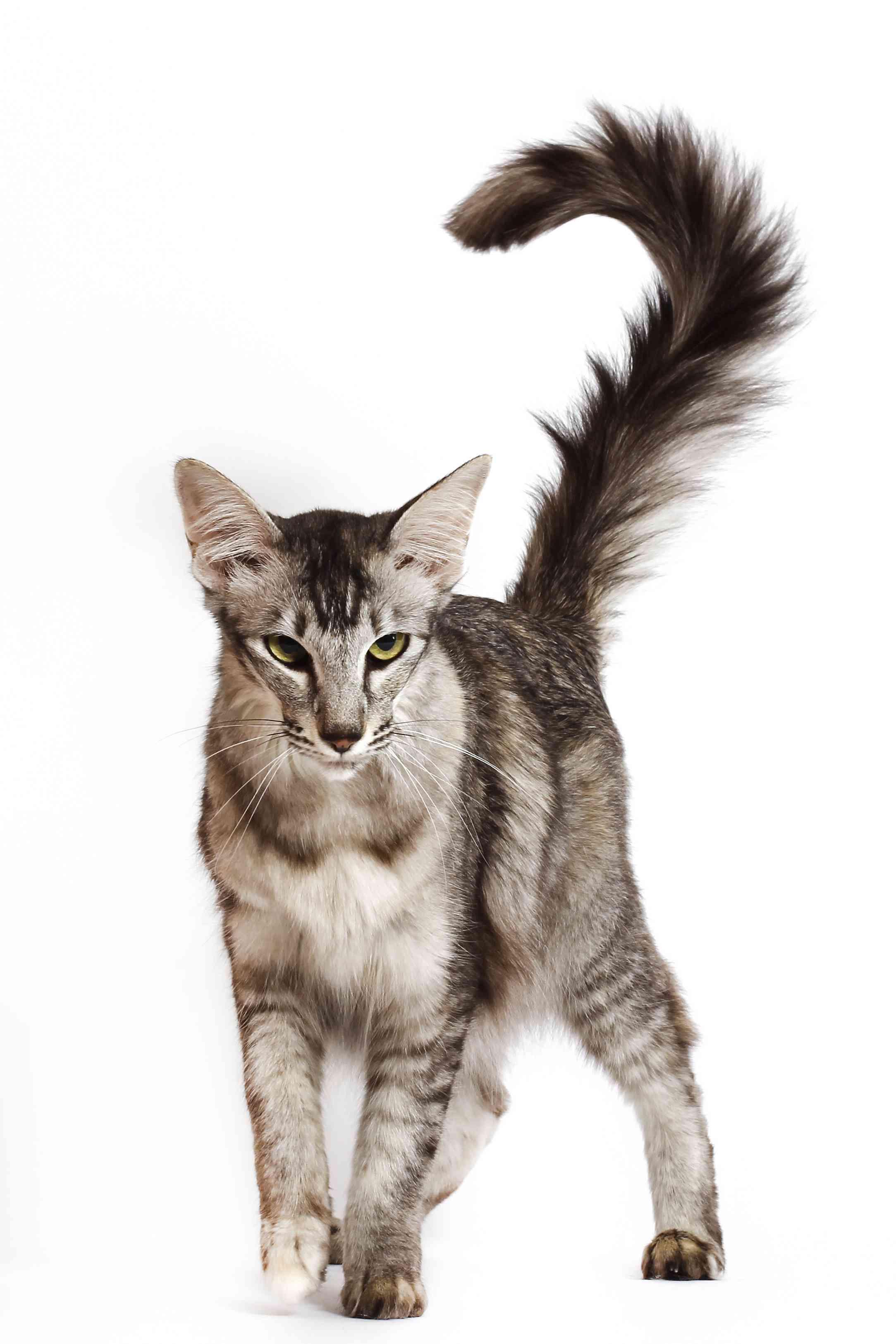 Oriental Longhair distinct tail